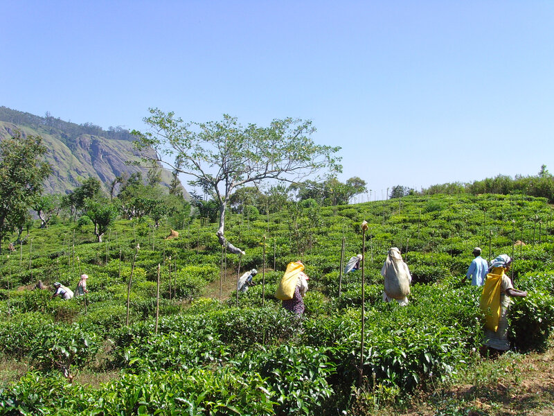 Domaine d'Amba Tea Estate